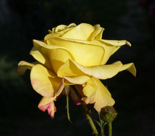 Rosa 'Night Light ®'