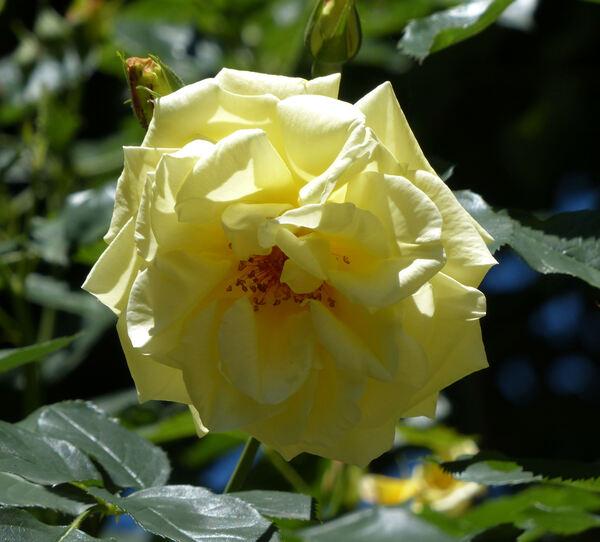 Rosa 'Goldener Olymp'