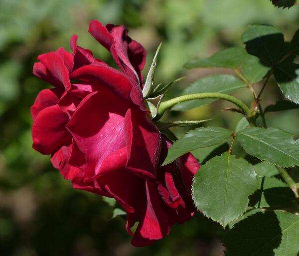 Rosa 'Syr'