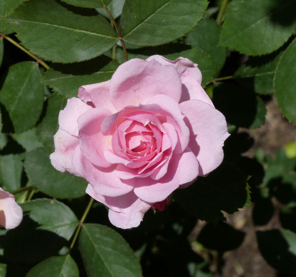 Rosa 'Prairie Joy'