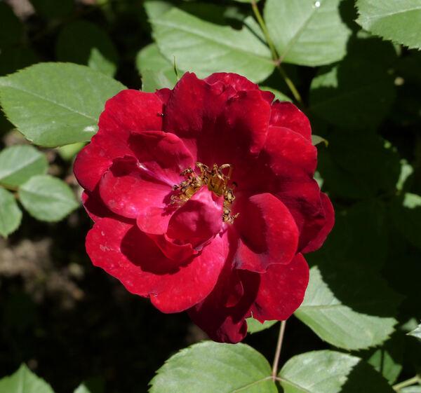 Rosa 'Champlain'