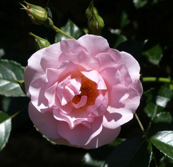 Rosa 'Rosario ®'