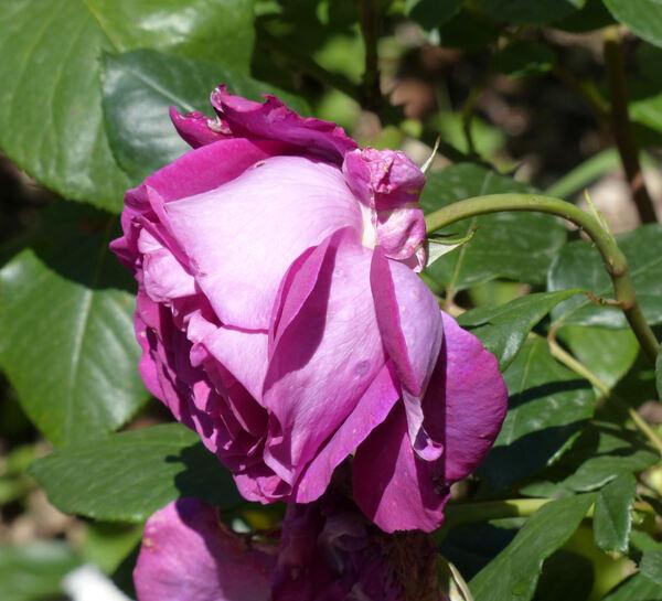 Rosa 'Chartreuse de Parme'