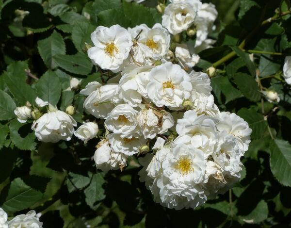 Rosa 'Gruss an Zabern'