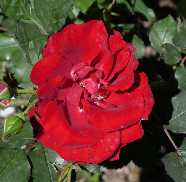 Rosa 'Roter Korsar ®'