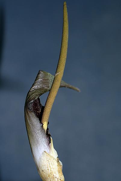 Biarum tenuifolium (L.) Schott subsp. tenuifolium