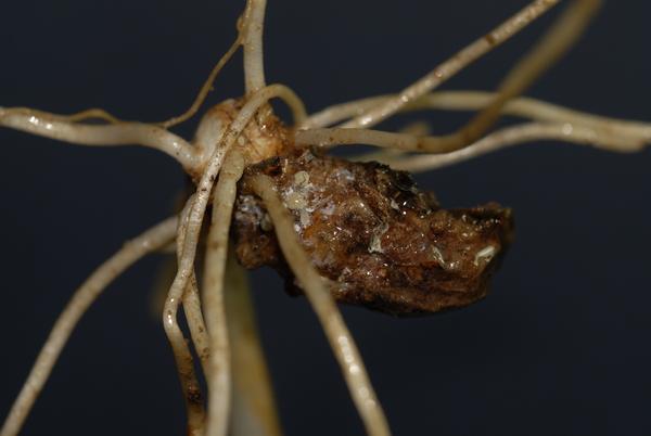 Arisarum vulgare O.Targ.Tozz. subsp. vulgare