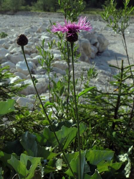 Centaurea scabiosa L. subsp. fritschii (Hayek) Hayek