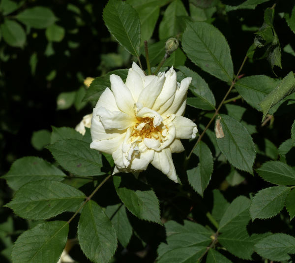 Rosa 'Thisbe'