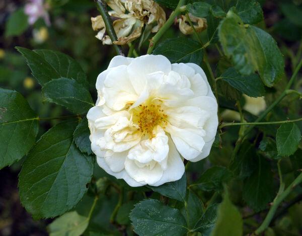 Rosa 'Danaë'