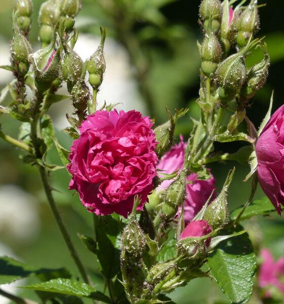 Rosa 'F.J.Grootendorst'