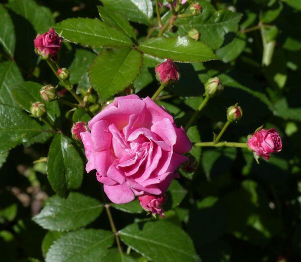 Rosa 'Ellen Poulsen'