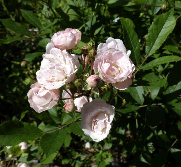 Rosa 'Jeanny Soupert'