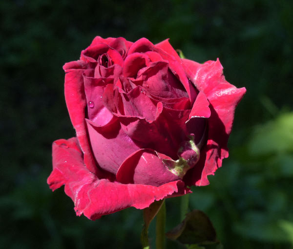 Rosa 'W.E. Lippiat'