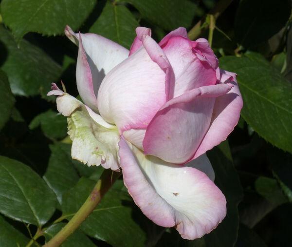 Rosa 'Elvis ®'
