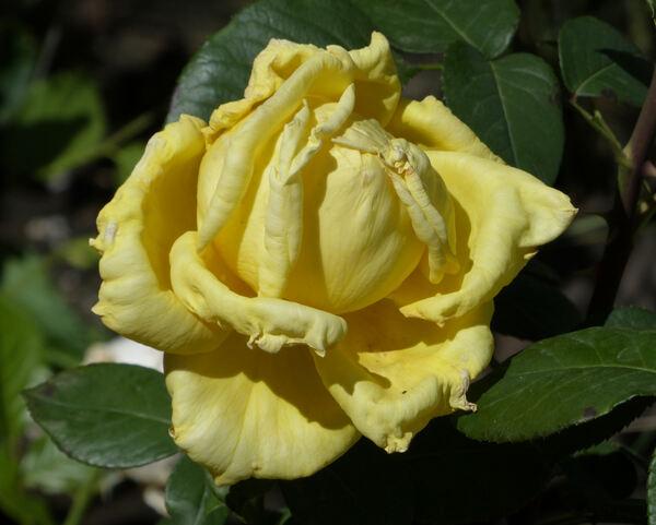 Rosa 'Nicolas Hulot ®'
