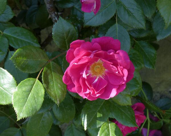 Rosa 'Laguna ®'