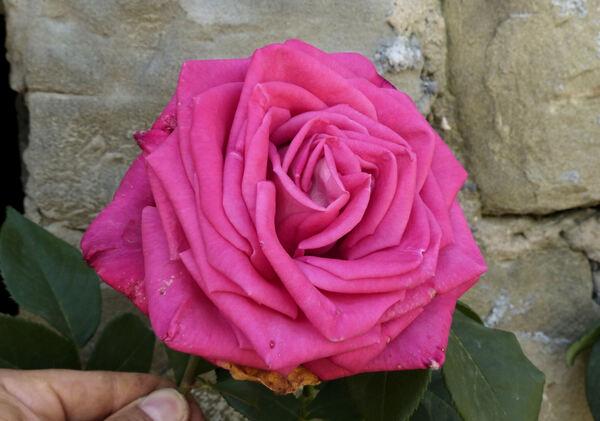 Rosa 'Lolita Lempicka, Cl.'