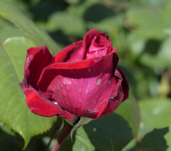 Rosa 'Botero ®'