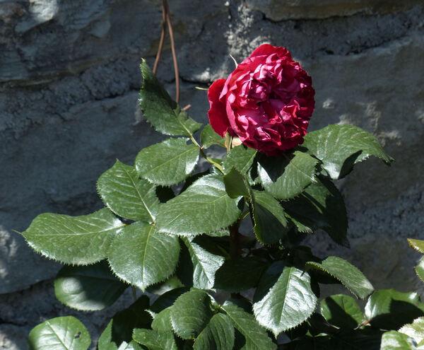 Rosa 'Traviata ™'