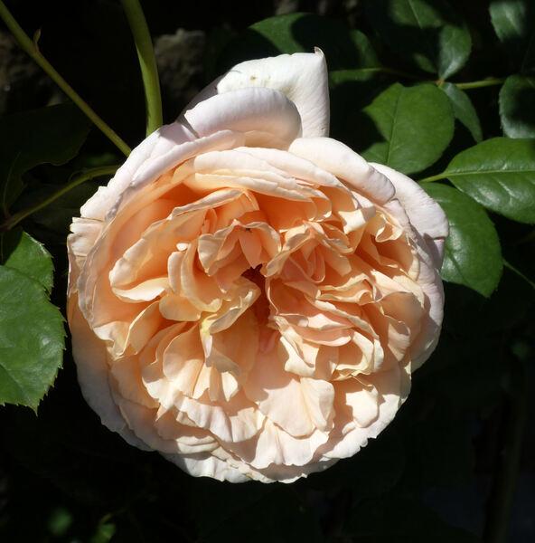 Rosa 'Papi Delbard ®'