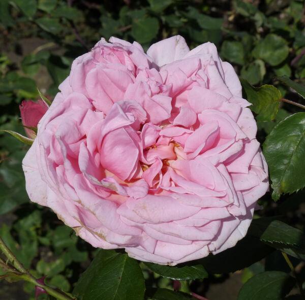 Rosa 'Pink Princess'