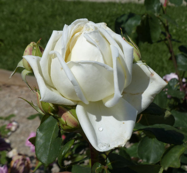 Rosa 'Prinzessin Hildegard'
