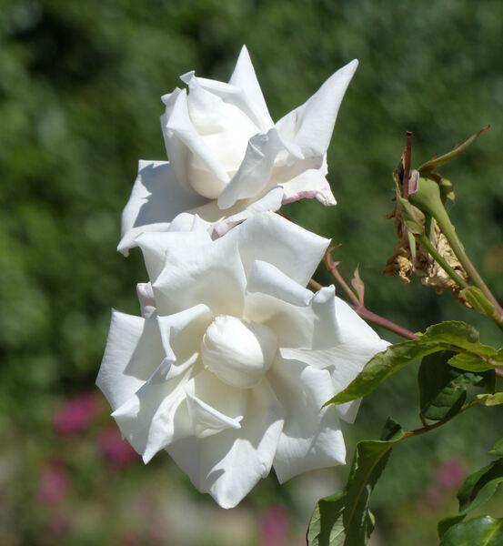 Rosa 'Mrs. Herbert Stevens, Cl.'