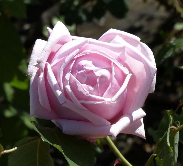 Rosa 'Madame Léon Pain'