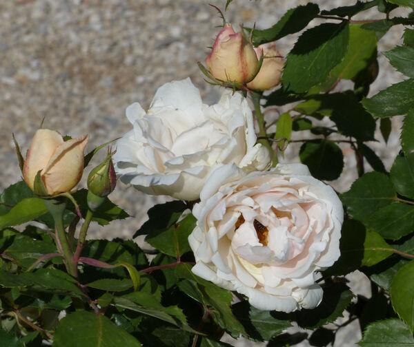 Rosa 'Paul Monnier'