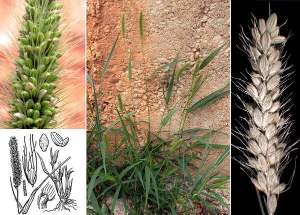 Setaria italica (L.) P.Beauv. subsp. viridis (L.) Thell.