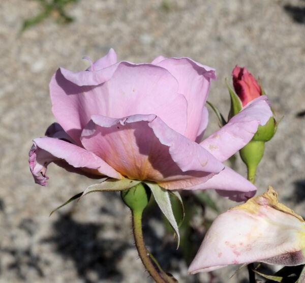 Rosa 'Magrana'