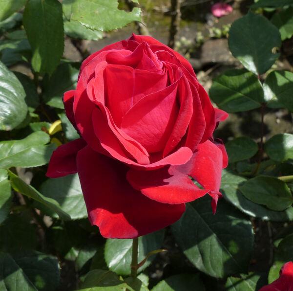 Rosa 'Lola Montes'