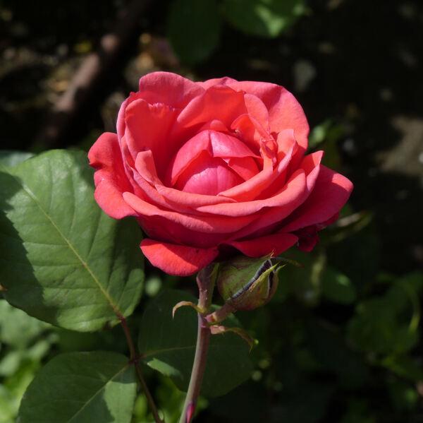 Rosa 'Belle de Provins'