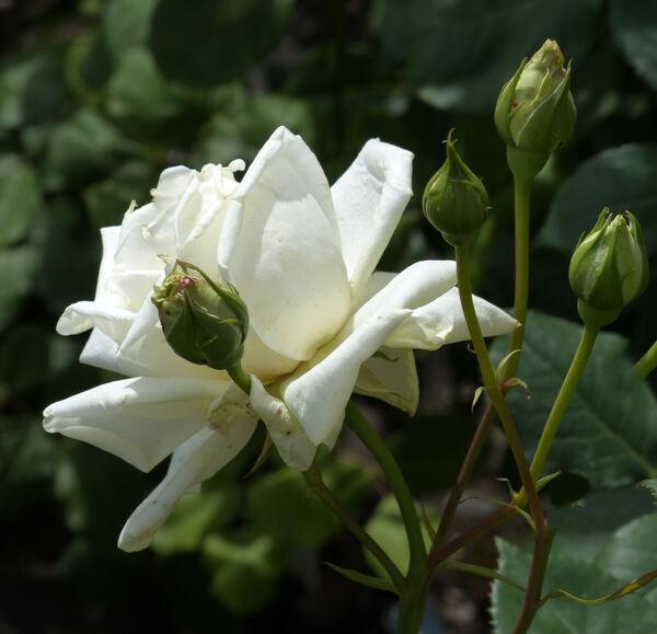 Rosa 'Alabaster'