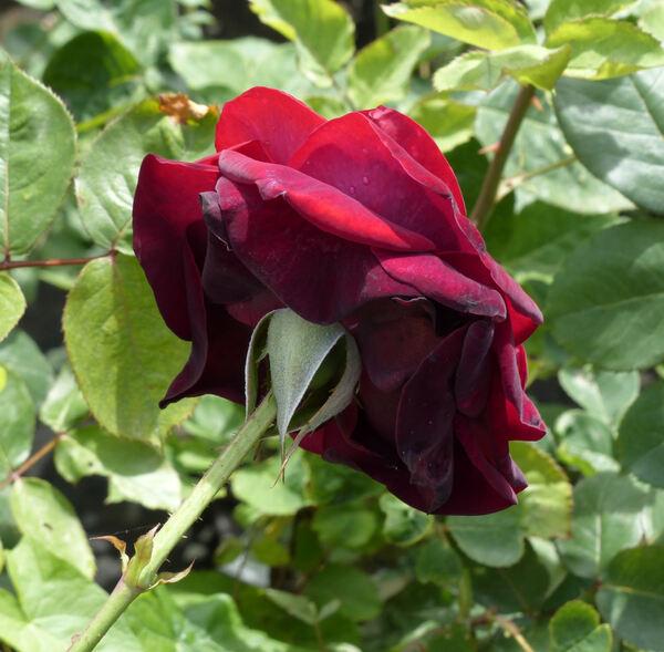 Rosa 'Coronado'