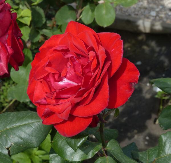 Rosa 'Pharaoh'