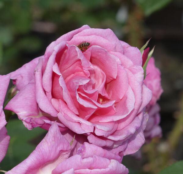 Rosa 'Aveu'
