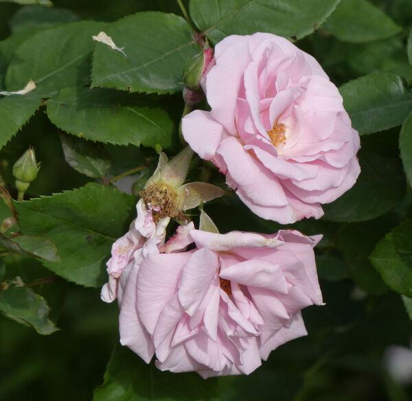 Rosa 'Kathleen Harrop'