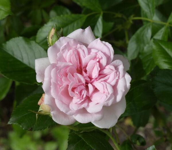 Rosa 'Paul's Tea Rambler'