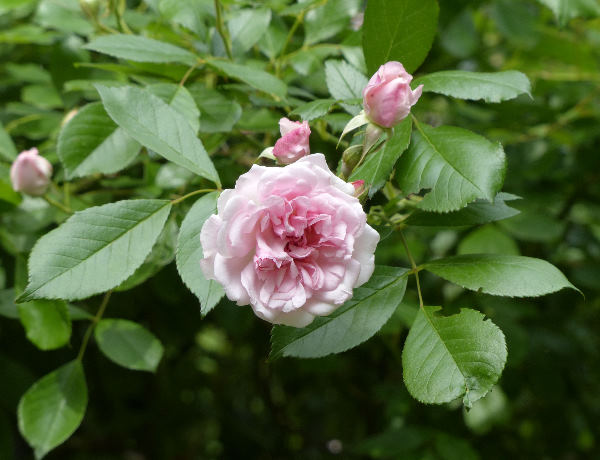 Rosa 'Paul's Tea Rambler'