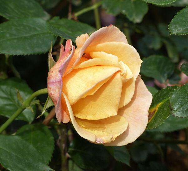 Rosa 'Della Balfour'