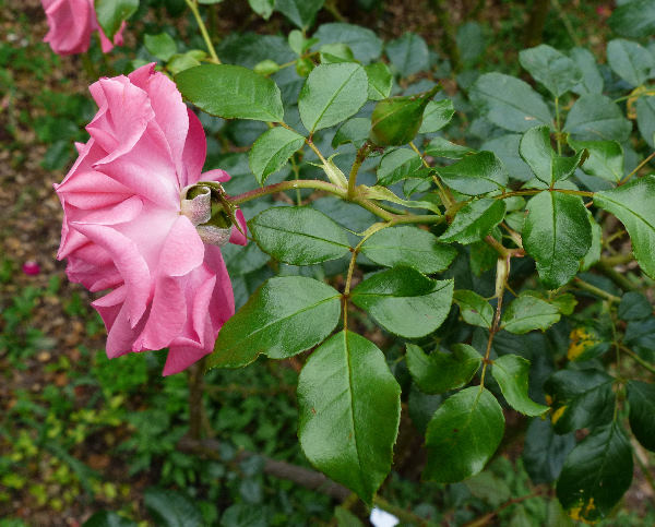 Rosa 'Rosenresli ®'