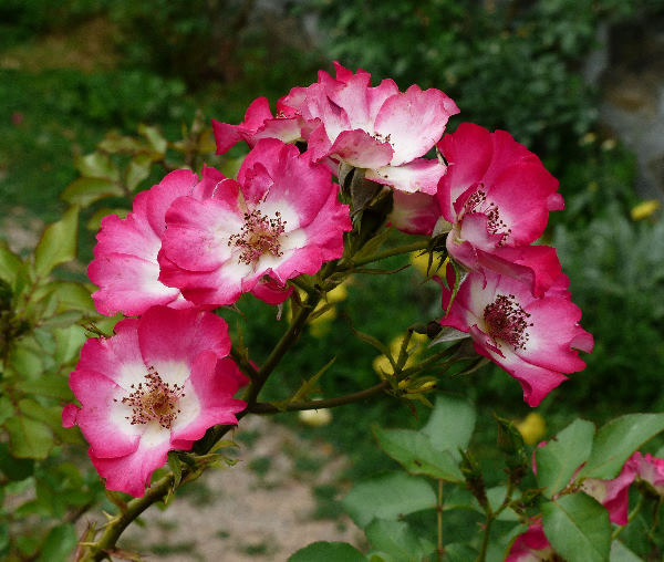 Rosa 'Cherry Meillandecor'