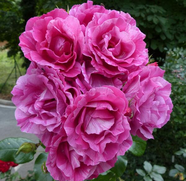 Rosa 'Guy Savoy'