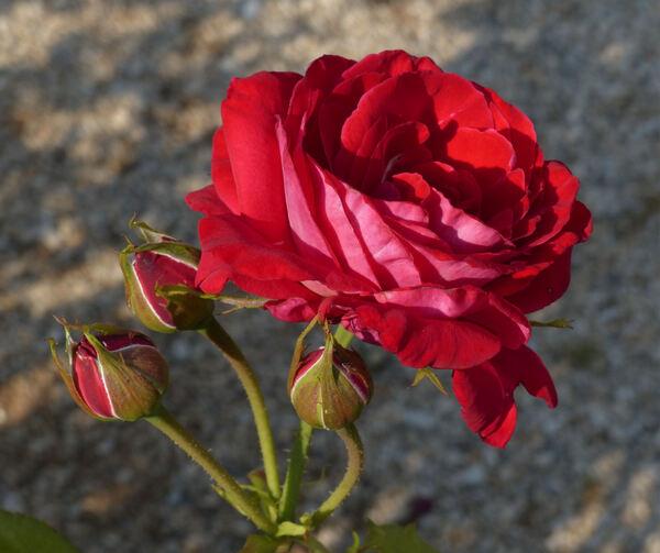Rosa 'Château de Versailles ®'