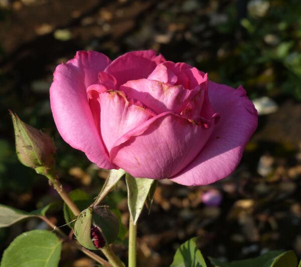 Rosa 'Paul McCartney'