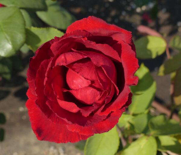 Rosa 'Erotika ®'