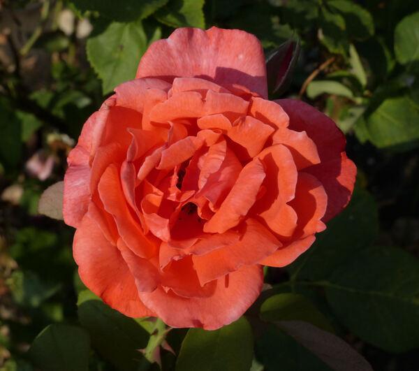Rosa 'Merveilleuse'