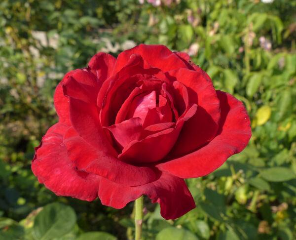 Rosa 'Proud Land'